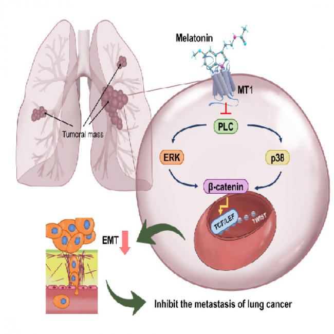 Melatonin suppresses lung cancer metastasis by inhibition of epithelial mesenchymal transition through targeting to Twist